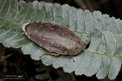 Cockroach_MG_9151 copy (Kurt (orionmystery.blogspot.com)) Tags: borneo roach sabah cockroach knp blattodea