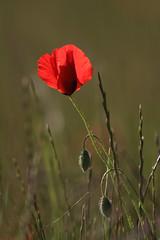 Le coquelicot (Philis.Nat) Tags: fleurs canon de rouge jour printemps contre champ verte coquelicot boutons herbes profondeur eos7d