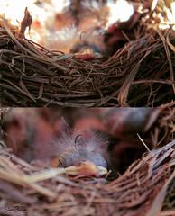 :) (Sara Garca.) Tags: espaa naturaleza cute bird love primavera nature animal spring nice spain sweet pajaro lovely nido mirlo gracioso