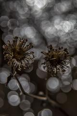 dead flowers (sami kuosmanen) Tags: light flower art nature water forest suomi finland dark dead spring foto dof close bokeh vesi luonto kouvola kevt kukka lhikuva kuusankoski kuollut tumma beyondbokeh