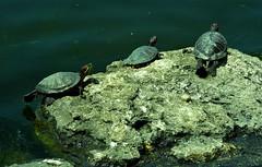 nuclear family (bilal gldoan) Tags: family wild lake nature water animal animals underwater natural outdoor turtle gl yaam vahi vahiyaam