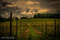 The Latest Vines.. (Alex Chilli) Tags: sky cloud vines wine surrey grapes dorking vinyard denbies