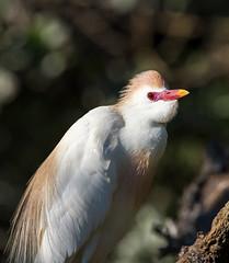 cattle egret (fins'n'feathers) Tags: birds animals florida wildlife egret staugustine rookery nesting nests cattleegret alligatorfarm breedingcolors