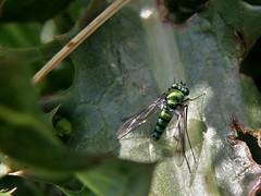 Condylostylus (carlos mancilla) Tags: insectos flies moscas condylostylus olympussp570uz