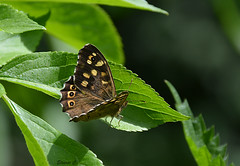 Speckled Wood  ( Pararge aegeria) (Eleanor (No multiple invites please)) Tags: