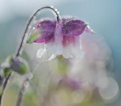 Champion (Franci Van der vyver (Carmen Tulum)) Tags: macro wet water dewdrops drops spring tears dew sweat columbine nikon1050mmf28
