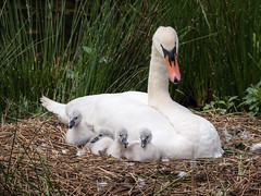 Snuggle with mother (Maria-H) Tags: uk england cheshire nest unitedkingdom cygnet panasonic gb dunhammassey muteswan cygnusolor 100400 gh4 dmcgh4