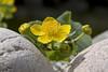 Peekaboo in the pond (Ingunn Eriksen) Tags: flower marshmarigold kingcup bekkeblom soleie