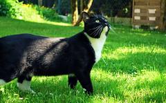 Ruffy (hannah_bergmann) Tags: summer cats baby cute green nature beautiful animal animals cat garden spring nikon sommer natur kitty kawaii neko gras katze frhling koneko nikond60