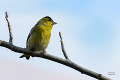 Jilguero Lgano. Linnaeus, 1758. (EcoFoco juanma.coria) Tags: espaa naturaleza fauna aves otoo macho extremadura coria biodiversidad valledelalagn jilguerolgano parquedecadenetas carduelisspinuslinnaeus1758