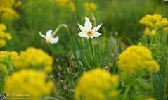 Narciso come un fiore (EmozionInUnClick - l'Avventuriero's photos) Tags: bokeh fiore narciso
