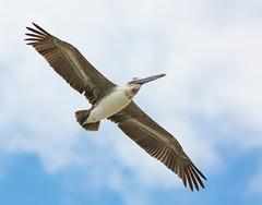 Brown Pelican, Cocoa Beach, Florida (Gary McHale) Tags: brown beach florida pelican cocoa