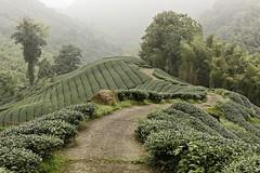 Ba Gua Tea Garden (stevenpng) Tags: taiwan teagarden teaplantation nantou  d810   nikoncapturenx2 nikongp1  nikkor1635mmf4gvr baguateagarden baquateagarden