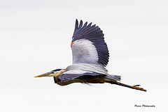Flight Of The Heron (Parris Photography) Tags: heron greatblueheron bombayhook parrisphotography