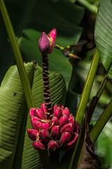 Amazilia tzacatl (Sebastin Vera) Tags: de colombia evolution aves biology colibr libar biologa musaceae amazilia ornitologa nctar