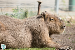 IMG_1905 (d_propp) Tags: rodent edmonton capybara edmontonvalleyzoo may2016