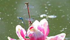 Hi! ('cosmicgirl1960' NEW CANON CAMERA) Tags: pink blue red white green nature water gardens wales lily dragonflies cymru parks couples insects bugs lilies pairs mating snowdonia bodnant damselflies eryri gardd yabbadabbadoo