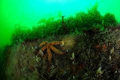 Plymouth-201605-JamesEaganLayne1-2 (Tony J Gilbert) Tags: macro marine underwater plymouth diving scylla jameseaganlayne nikond300 handdeeps wwwdivingplymouthcom ceeking hilseapointrocks
