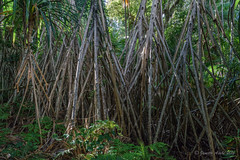 Day of the triffids - Pandanus forsteri (NettyA) Tags: trees plants forest australia nsw tall day8 subtropical unescoworldheritage pandanus lordhoweisland 2016 lhi pandanusforsteri sonya7r janetteasche lordhoweforclimate