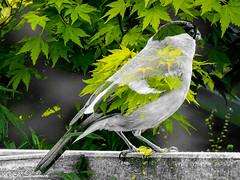 Meise im neuen Gewand (Fotoamsel) Tags: tiere vgel garten meise imgarten mehrfachbelichtung playmemoriescameraapp