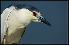 """This Night saved my day! Black Crowned Night Heron (Christine Fusco ~ """"Jersey Strong"""") Tags: blue portrait bird heron water nj breeding wetlands marsh blackcrownednightheron nycticoraxnycticorax bcnh"""