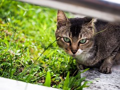 Stray Cat (vanessateo) Tags: street animal cat singapore asia olympus straycat em10 1240mmpro