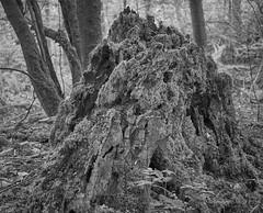 Tree stump [BW] (Modesto Vega) Tags: tree monochrome iso800 blackwhite nikon treetrunk treestump d600 treetrunkdetail