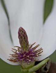Half (cjh44) Tags: macro home closeup garden petals stamens pistil magnolia shrub