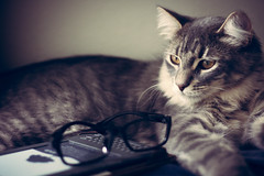 Happy Learning (Kenny Dong) Tags: pet cats pets cat canon reading glasses amazon kitten tabby kittens indoor learning siberian kindle siberianmix