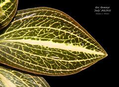 Dossisia [Dossinimaria] Dominyi 'Judy' AD/AOS (Orchidelique) Tags: plant orchid flower nature ad exotic judy discolor hybrid dsi lus aos doss ludisia marmorata dsma ncjc dossinia dossisia dominyi dossinimaria lglicenstein