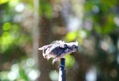 Post-bath shake (rkramer62) Tags: june tuftedtitmouse backyardbirds grandvillemichigan rkramer62