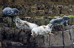 Grey seals (Chalto!) Tags: may anstruther eastnuek fife isleofmay reserve scotland seal greyseal four