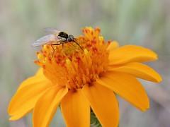 Neacreotrichus (carlos mancilla) Tags: insectos flies moscas olympussp570uz neacreotrichus