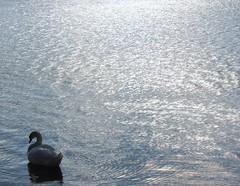 Swan (jmaxtours) Tags: lake toronto bird swan lakeontario sunnyside torontoontario whiteswan sunnysidebeach