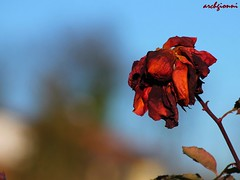 c'era una volta ... (archgionni) Tags: flowers red sky macro nature leaves foglie petals natura cielo fiore rosso petali christiangroup