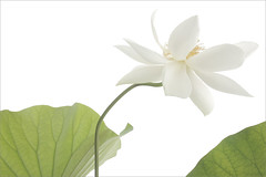 White lotus flower and leaves on-white (Bahman Farzad) Tags: white flower leaves lotus onwhite