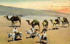 Egypt - Camel Caravan (Steven Czitronyi) Tags: donkeys postcard camels