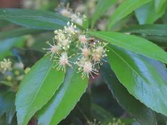 Dissiliaria surculosa 3 (barryaceae) Tags: new plants gardens wales botanical coast rainforest harbour south north australian australia species regional coffs the australianrainforestplants ausrfps