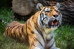 Dasha (John Greg Jr) Tags: ohio usa animals zoo unitedstates cleveland mammals siberiantiger carnivores amurtiger clevelandmetroparkszoo camera:make=nikoncorporation exif:make=nikoncorporation exif:focallength=300mm exif:aperture=56 camera:model=nikond7100 exif:model=nikond7100 exif:lens=1803000mmf3556 exif:isospeed=140