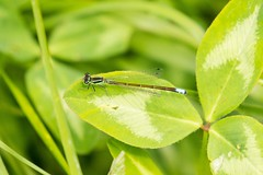 7K8A1659 (rpealit) Tags: mountain male nature scenery wildlife management area sparta eastern damselfly forktail