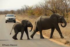Elephant (Loxodonta africana)  Www.paolomeroni.com (paolo_meroni (www.paolomeroni.com)) Tags: africa travel southafrica nikon explorer ngc audi kruger africanelephant elefante d800 sudafrica elefanti loxodontaafricana manandnature nikonflickraward sigma150500