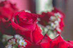 IMG_4150 (Josy'ta) Tags: rose rosas rosascolombianas flowers flores flor diadosnamorados love