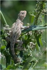 Blandford's Agama (markjasminphotography) Tags: wildlife lizard ksa agama