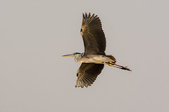 Mid-air (malc1702) Tags: greyheron heron largebirds birds birdinflight migration migratorybirds nature grace beauty nikond7100 tamron150600 sky wingspread wildlife wings colorsinourworld