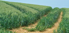 A crop of corn...... (Gary-West Sussex) Tags: downs corn farm tracks crop