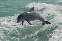 Jumping Dolphin (fascinationwildlife) Tags: sea wild usa nature animal america mammal island spring jump florida dolphin wildlife natur atlantic delfin sanibel bottlenose tmmler