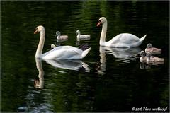 Zwanenfamilie in de Singel (Hans van Bockel) Tags: park water photoshop canal nikon raw nef ngc familie thenetherlands explore swans 70300mm singel tamron deventer gracht jongen nld dng zwanen plantsoen d7200