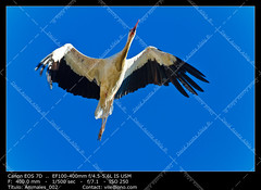 white stork (__Viledevil__) Tags: blue light wild sky white black color bird nature beautiful beauty animal fauna neck one freedom high open view outdoor wildlife wing beak feather wilderness care pure tranquil stork purity ciconiiformes ciconia migrate