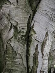 P7129679 (Mark J. Stein) Tags: plant texture nature treetrunk bark longwoodgardens 2016 photobymarkjstein photobymarkstein