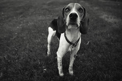 (M.Ewing) Tags: dog white black beagle mike photoshop canon lens photography photo hound adobe kit ewing 6d f4l 24105mm